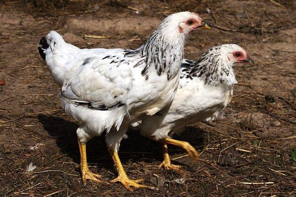 Фото адлерских цыплят в 3,5 месяца.