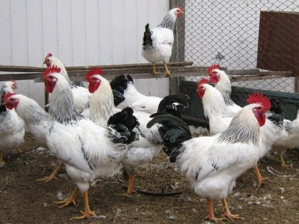 Чистокровная Адлерская порода кур.
