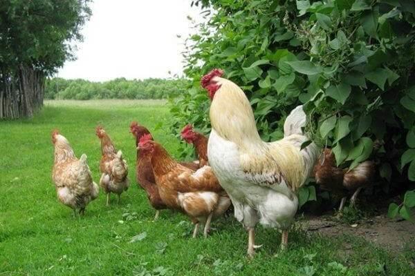 История курицы в жизни человека.