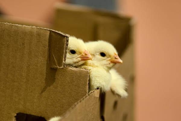 Птенцы в коробке.
