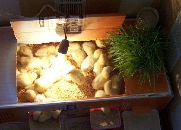 Суточные цыплята нуждаются в обогреве.