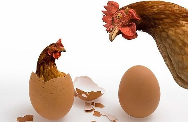Почему курица несет мелкие яйца - причины и решение проблемы.
