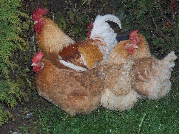 Правильный отбор поголовья кур для выведения цыплят.