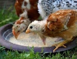 Правильное приготовление мешанки для цыплят.