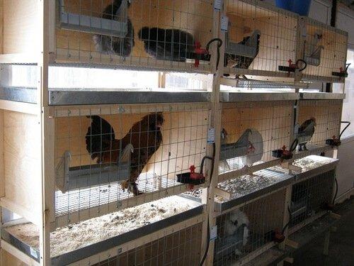 Курицы в клетках.