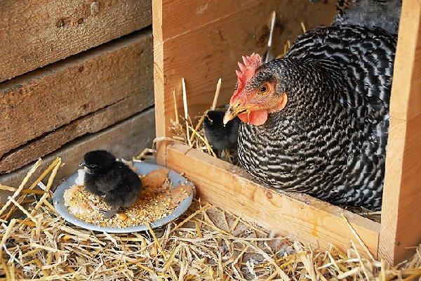 Суррогатные мамы курицы – в чем суть и результаты.
