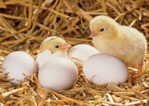 Выведение цыплят наседкой.