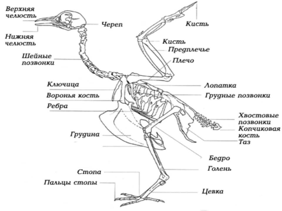 Строение скелета курицы.