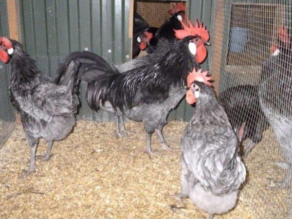 Андалузская порода кур.
