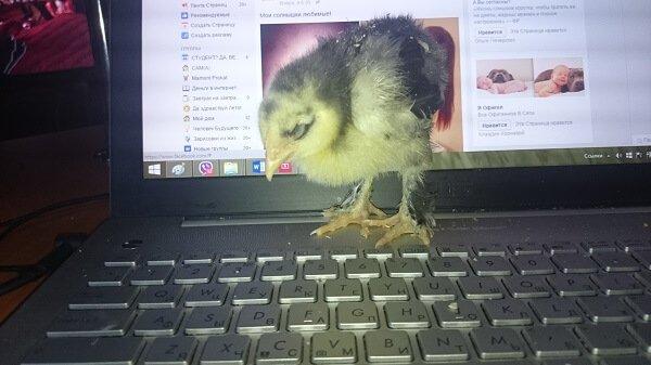 Цыпленок кохинхин 5 дней.