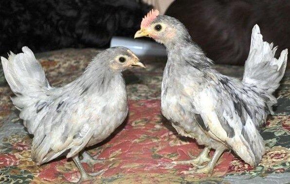 Цыплята Шабо.