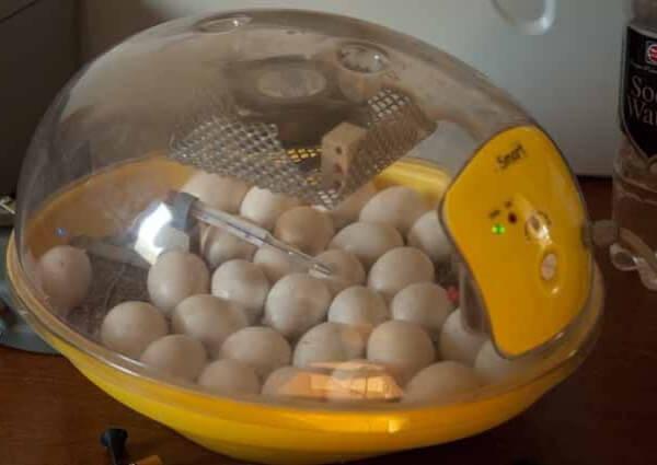 Яйца в инкубаторе.