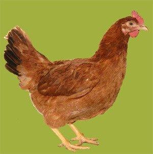 Ереванская красная курица.