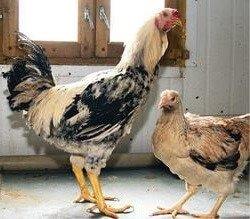 Петух и курица Кулинги или Дакан.