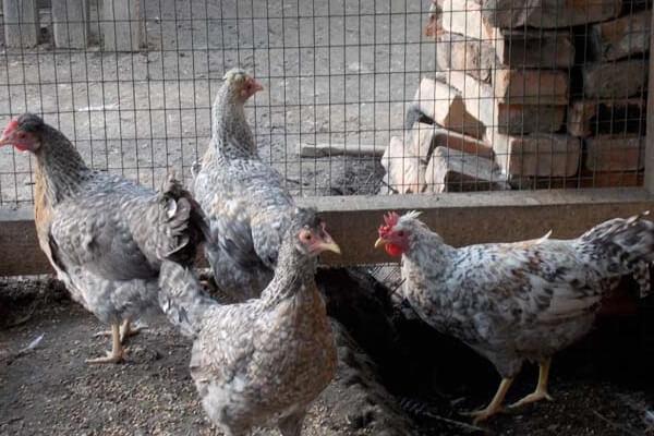 Легбар порода кур – описание, фото и видео.