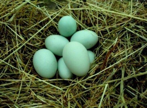 Голубые яйца породы Легбар.