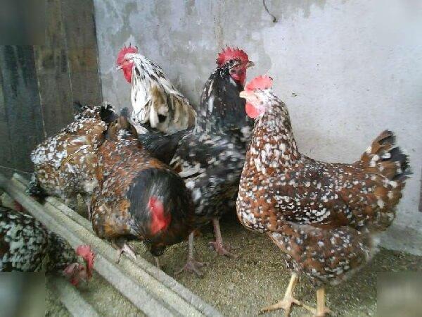 Ливенская ситцевая порода кур.