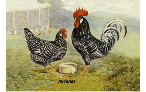 Курица и петух Анкона.