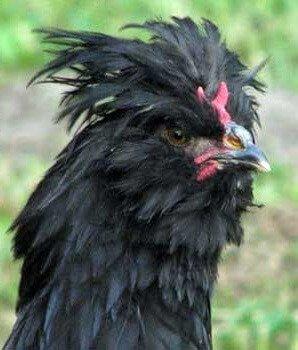 Черный Кревкер фото.