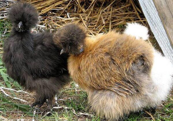 Черная и коричневая шелковые курицы.