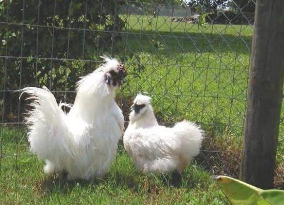 Петух и курица шелковой китайской породы.
