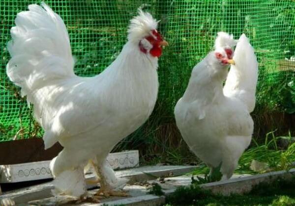 Султанка порода кур – описание, фото и видео.