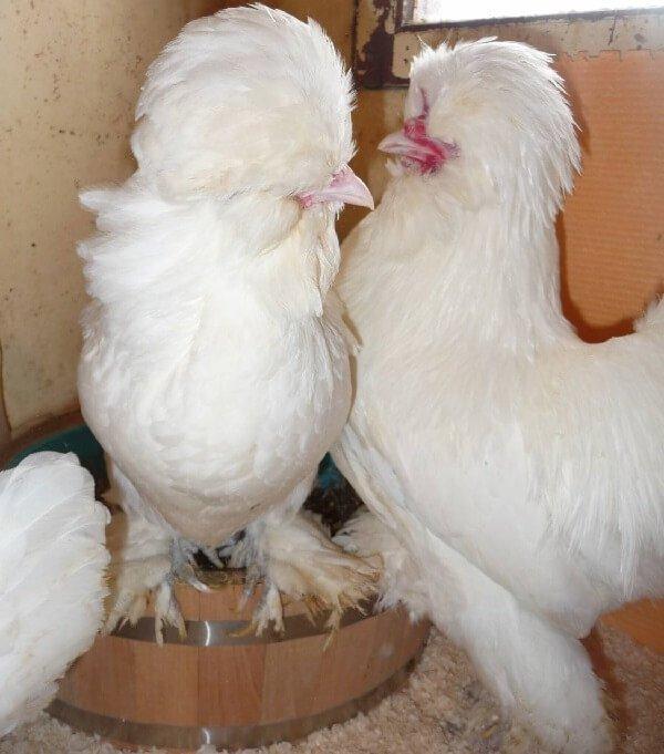 Счастливая семья куры Султанки.
