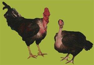 Семья голошейных трансильванских кур.