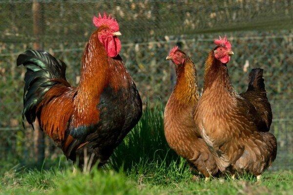 Вельзумер порода кур – описание, фото и видео.