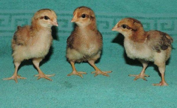 Цыплята породы вельзумер.