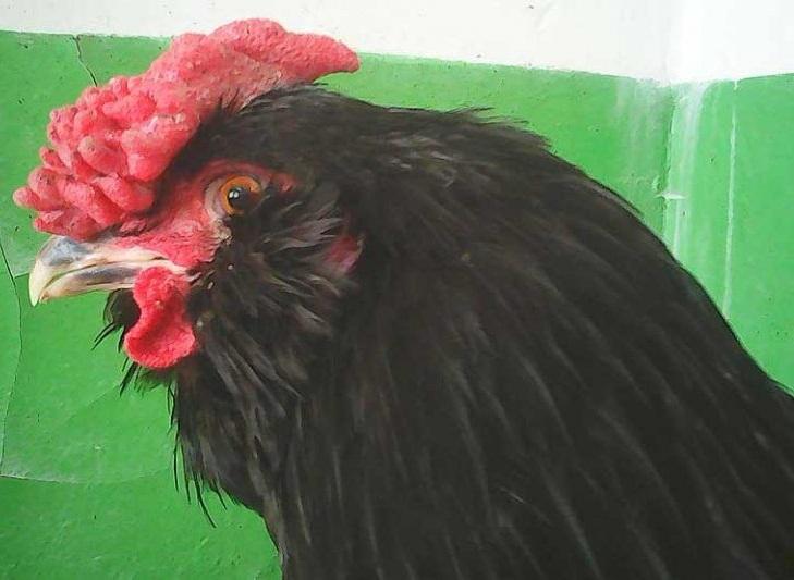Галан порода кур – описание черных бородатых, фото и видео.