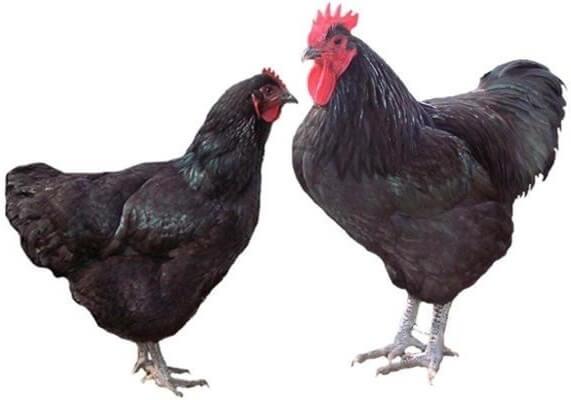 Курица и петух породы Джерсийский гигант.