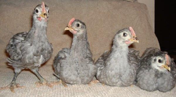 Голубые Джерсийские цыплята.