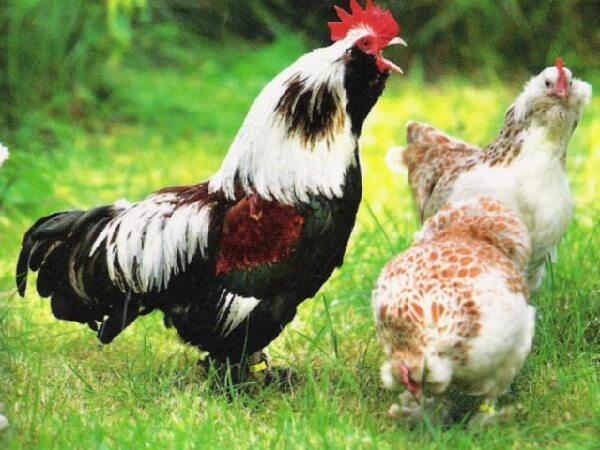 Петух и курицы породы Фавероль.