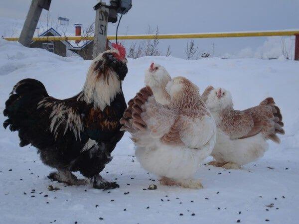 Фавероль порода кур хорошо переносит зиму.