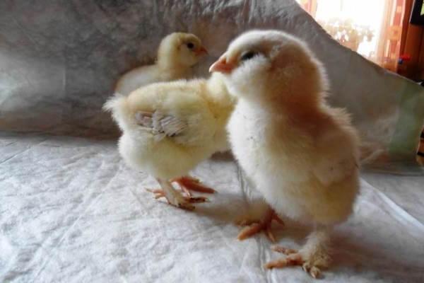 Цыплята Фавероль фото.
