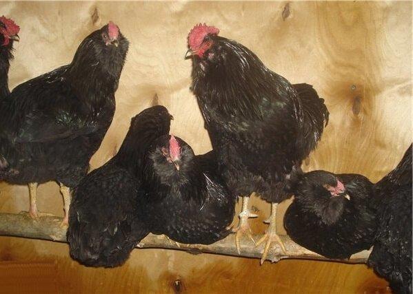 Галан порода кур – описание, фото и видео.