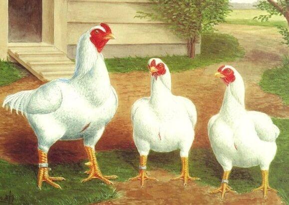 Индийская белая бойцовая порода кур.