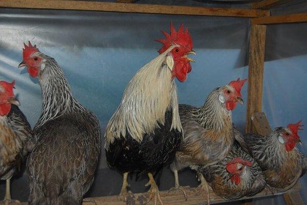 Итальянская порода кур – описание, фото и видео.