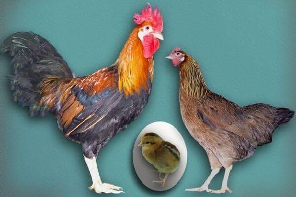 Итальянская Куропатчатая порода кур с фото и описанием.