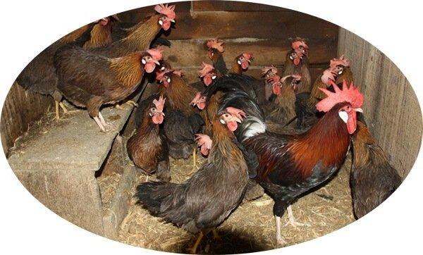 Итальянская порода кур куропаточная.
