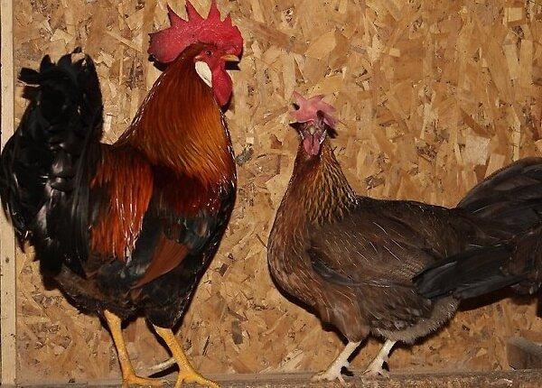 Петух и курица итальянской породы.