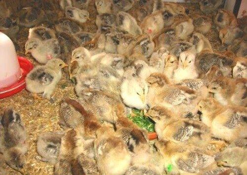 Цыплята итальянской породы кур.