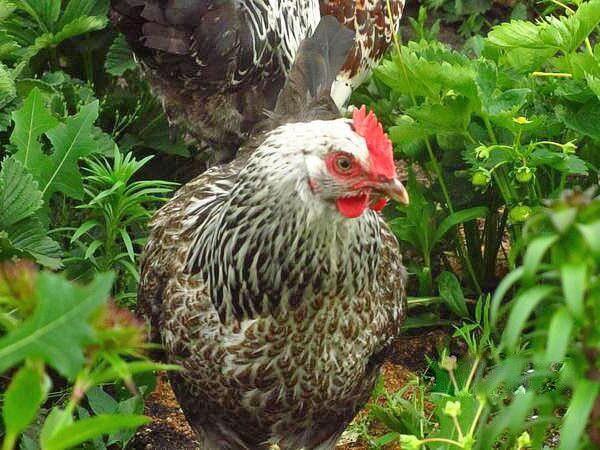 Котляревская курица несушка.