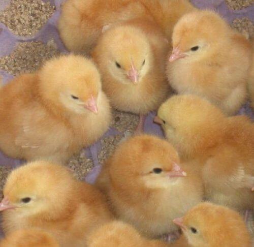 Суточные цыплята породы Шейвер браун.