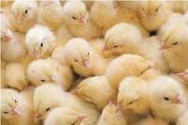 Цыплята породы Декалб Белый.
