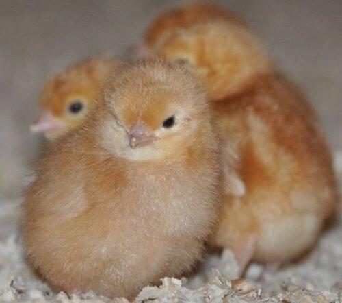 Суточные Цыплята Изобраун.
