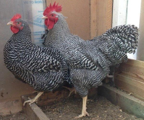 Петух и курица породы Амрокс.
