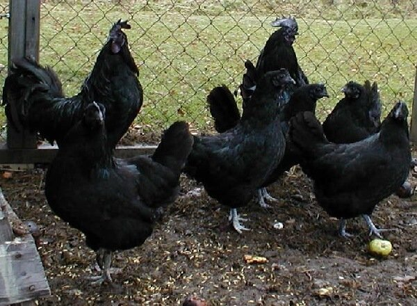 Черные куры Аям Цемани фото и описание породы.