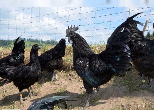 Черные куры Аям Цемани.